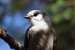 Gray Jay 2013-09-29 IMG_3380.jpg (DavidAWelch) Tags: aves grayjay passeriformes corvidae greyjay wildlifevocabularyworldbirdsbyioc