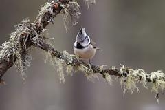 Cincia col ciuffo (wolfman1908) Tags: wild nature wildlife natura bosco avifauna naturalmente roseg
