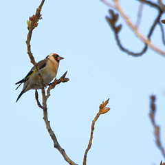 Chardonneret lgant (European Goldfinch) (Constantin92) Tags: bird goldfinch tamron europeangoldfinch chardonneret chardonneretlgant 150600