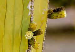 Backyard Cactus 023 (ljguitar) Tags: quail centuryplant suncitywest backyardcactus petemarilyn