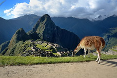 Llamas at Machu Picchu in Peru-25 5-24-15