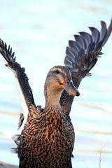 Mallard Hen (free_shipping94) Tags: autumn bird fall love nature water animal duck mallard hen mallardhen mautinostatefishandwildlifearea
