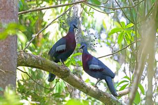 Victoria Crowned Pigeon, Nimbokrang, West Papua