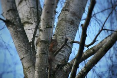 IMG_3440-01 (IdaAsplund) Tags: blue trees sky plants plant tree nature animal animals natur himmel birch ekorre trd squirel djur