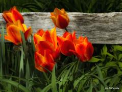 Spring Cliche Shot (Al Perrette) Tags: alperrette