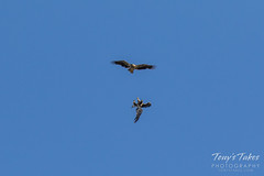 Juvenile Bald Eagles battle sequence - 3 of 5