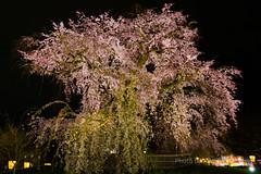 / Weeping Cherry (kimtetsu) Tags: plant japan spring kyoto nightshot jp   cherryblossom     maruyamapark