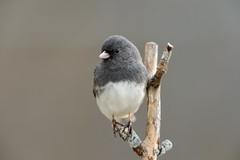Dark-eyed Junco-44027.jpg (Mully410 * Images) Tags: bird birds backyard junco birding birdwatching birder darkeyedjunco