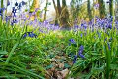 Slindon Woods Bluebell Path (Edwinjones) Tags: flowers blue light wild england flower color macro green texture nature bluebells photoshop woodland downs photography sussex photo spring woods soft westsussex photos sony scenic picture pic vegetation greenery dslr bluebell parklane springflowers southdowns topaz bluebellwoods copse blueflowers slindon slindonwoods bluebellflowers dslra550 butcherscopse