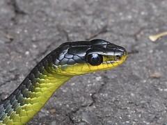 Australian Tree Snake (davidpetergibbins) Tags: snake australian tree closeup head