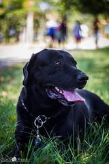 Thor (Marciobien) Tags: parque dog animal 50mm dof bokeh natureza cao cachorro m42 thor animais passeando manuais prakticar oldlenses porai 50tinha canon7d