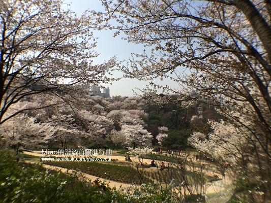 안산공원벚꽃31