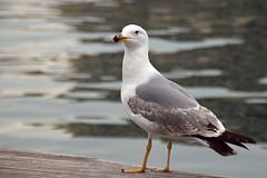 Yeah, that's ME ;) (I) (suominensde) Tags: sea naturaleza bird nature water animal nikon outdoor gull depthoffield serene gaviota pájaro portvell d5300