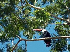 Tucanuu. (MoniQue Peres) Tags: bird nature toucan natureza botnico ave paulo so bauru toco tucano brasi ramphastos ramphastostoco tocotoucan tucanotoco aoarlivre lbrazil jardimbotnicobauru baurusopaulobrasil
