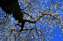 The Blossoms look like Snowflakes (Tobi_2008) Tags: sky white tree nature germany deutschland spring saxony natur blossoms himmel sachsen tobi weiss allemagne baum germania frhling blten bestcapturesaoi elitegalleryaoi