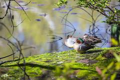 I See You (matthewolsonphoto.com) Tags: birds animals wildlife birding ducks birdwatching teals greenwingedteal