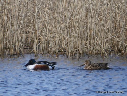 Shoveller Duck pair