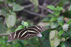 Zebra Butterfly (ambeanerxcore) Tags: white black nature gardens butterfly garden botanical pattern texas south wing stripe center zebra christi corpus striped heliconian nymphalidae heliconiinae longwing heliconius aposematic charithonia