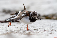 Ruddy Turnstone, Steinwlzer, Arenaria interpres @ Helgoland, Heligoland in April 2016 (Jan Rillich) Tags: sea sun nature beautiful beauty animal fauna digital canon photography eos photo spring flora foto fotografie image jan wildlife picture free sunny insel april northern nordsee sandstein dne frhling ruddyturnstone helgoland 2016 animalphotography arenariainterpres buntsandstein heligoland steinwlzer hochseeinsel janrillich rillich