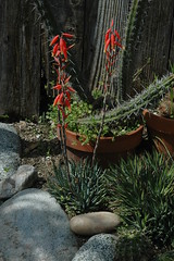 Aloe humilis Bloom (PorchPhoto) Tags: plant flower garden landscape succulent aloe backyard nikon blossom nikond70s bloom thorns humilis spines potted droughttolerant droughtresistant monroviacalifornia