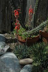 Aloe humilis Bloom (PorchPhoto) Tags: plant flower garden landscape succulent aloe backyard nikon blossom nikond70s bloom thorns humilis spines potted droughttolerant droughtresistant monroviacalifornia