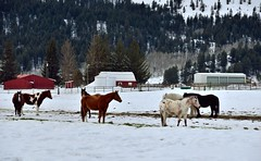 25831753235_7554986656_o (arnethagatlin77) Tags: trees day2 horses nature unitedstates farm barns farmland idaho swanvalley snowylandscape lookingwest fenceline hillsides project365 colorefexpro roadsidepulloff usroute26 caribourange nikond800e capturenx2edited hillsideoftrees triptoidahoandgrandtetons southeastidahoranges deadhorseridgenorth swanvalleyhwy