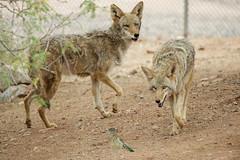 Wiley Coyote and the Roadrunner (Laveen Photography (aka cyclist451)) Tags: arizona phoenix birds animals zoo us photographer unitedstates wildlife az photograph phoenixzoo laveenphotography cyclist451yahoocom