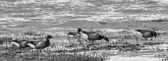 Brent Geese grazing at high tide at the Humber Estuary. (steve.gombocz) Tags: blackandwhite bw bird nature birds geese blackwhite nikon noiretblanc wildlife birdwatching humber hightide birdwatcher whiteblack rspb spurnpoint negroyblanco springwatch bwphotos brentgeese birdreserve naturewatch humberestuary teleconverters schwartzundweiss nikond810 nikon300mmf28lens