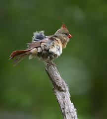 Cardnial (tevans9129) Tags: bird nikon cardinal tennessee select tc14e 400f28 d800e