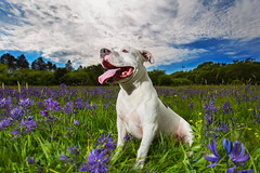 Emma (CaPpedDoG) Tags: flowers rescue dog canada field vancouver lens island happy friend bc angle wide canine columbia victoria pit bull pitbull british 16mm companion f4 1635mm pittie