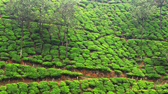 Vagamon, Kerala # 7 (Abraham Jacob N) Tags: travel india nature canon kerala teagarden teaplantation kottayam canonpowershotsx130
