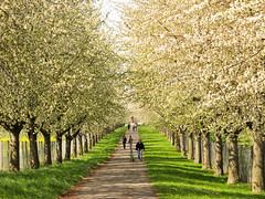 Wild Cherry Trees (Habub3) Tags: trees wild canon germany cherry deutschland spring stuttgart powershot avenue frühling blooming allee g12 2016 habub3