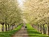 Wild Cherry Trees (Habub3) Tags: trees wild canon germany cherry deutschland spring stuttgart powershot avenue frühling blooming allee g12 2016 habub3