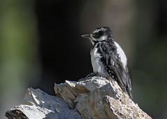 Hairy Woodpecker (Picoides villosus) (Ron Wolf) Tags: california bird nature female nationalpark woodpecker wildlife sierra yosemitenationalpark tuolumnemeadows hairywoodpecker picoidesvillosus picidae