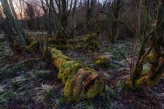 overgrown (Rainer Schund) Tags: morning nature overgrown forest nikon decay natur waste moor wald morgen baum decayed moos nikond700 naturemasterclass natureexploring unlimitet
