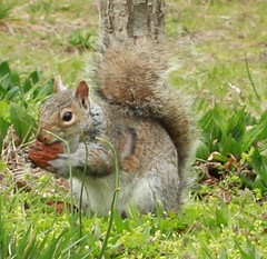 Gray Squirrel (lycaenidae_nm) Tags: brooklyn