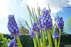 Traubenhyazinthen  Grape Hyacinth (Patrizia Kramer) Tags: blue sky green spring lensflair frhling hyazinthe