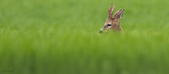 Roe in the grass (R - P Photography) Tags: nature grass animal animals switzerland suisse outdoor deer fribourg animaux extrieur roe chevreuil herbe vaud cach gibier canoneos7dmarkii canonef500mmf4isii