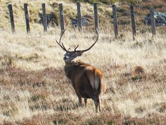 Stag near Loch Glascarnoch, Highlands of Scotland, Feb 2016 (allanmaciver) Tags: wild look animal fence see scotland stag glen antlers highland monarch remote lonely loch majestic glascarnoch allanmaciver