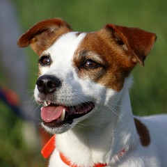 Toby (Tosama) Tags: dog dogs jrt hund bestfriend hunde jackrussellterrier