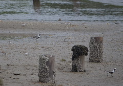Black-bellied Plovers (Neal D) Tags: bc surrey crescentbeach shorebird blackbelliedplover blackiespit