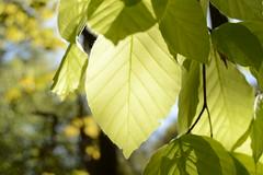 The Forest Awakens (simon.stoelben) Tags: light green leaves forest buchenwald spring woods sunny april blatt bochum sonnig wald blätter beech enlightened frühling buche bochumriemke