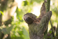 Brown-throated Three-toed Sloth (Ben Locke.) Tags: wild nature mammal costarica wildlife sloth brownthroatedthreetoedsloth