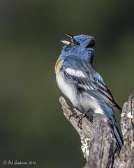 Lazuli Bunting (Bob Gunderson) Tags: california birds northerncalifornia southbay buntings santaclaracounty ranchosanantonio lazulibunting passerinaamoena