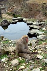 Pensive primate (Kyle Horner) Tags: japanesemacaque kanbayashi snowmonkeyresorts