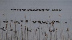 Birds behind the reeds (Alta alatis patent) Tags: reeds gulls ruf kemphaan philomachuspugnax