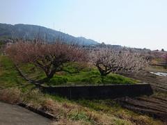 16i5148 (kimagurenote) Tags: apricot ume 梅 japaneseapricot ウメ prunusmume sogabairin 曽我梅林 神奈川県小田原市 odawarakanagawa