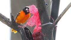 An early return (ricmcarthur) Tags: colour bird nature baltimore orioles icterusgalbula ricmcarthur rondeauric rickmcarthur