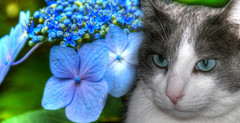 Old Blue Eyes (swong95765) Tags: blue flower beauty cat eyes soft bokeh kitty hydrangea sensatra