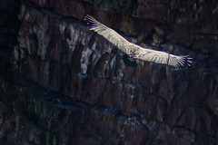 ItsusikoHarria-45 (enekobidegain) Tags: mountains montagne vultures monte euskalherria basquecountry bui pyrnes pirineos mendia buitres paysbasque nafarroa pirineoak bidarrai saiak vautours itsasu itsusikoharria
